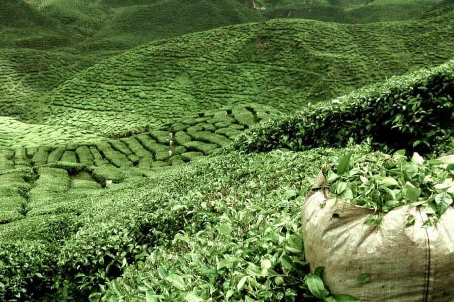 A field of green tea